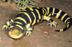 kansas state amphibian barred tiger salamander