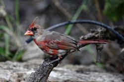 illinois state bird northern cardinal