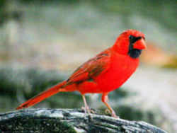 state symbol north carolina state bird cardinal