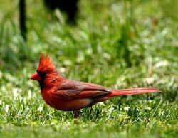 red label labradors south dakota south dakota state bird