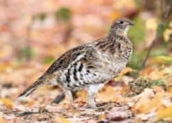 Pennsylvania State Game Bird: Ruffed Grouse