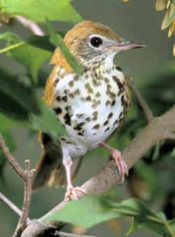 Washington Dc Bird Wood Thrush