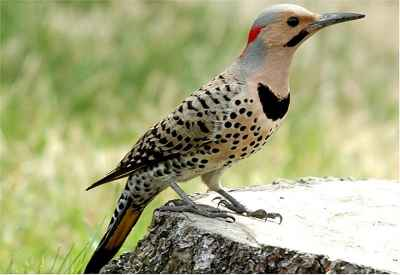 Alabama State Bird: Yellowhammer (Northern Flicker)