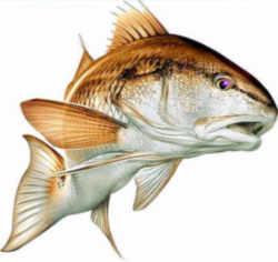 North carolina saltwater state fish channel bass red drum for Nc saltwater fish