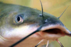 channel-catfish-ne.jpg
