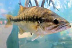 Kentucky State Fish Kentucky Spotted Bass
