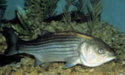 south carolina bass Striped