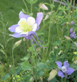 Colorado Flower White Lavender Columbine