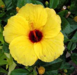 hawaii state flower native yellow hibiscus