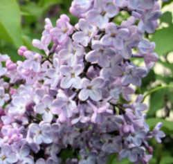 Idaho State Flower. Syringa