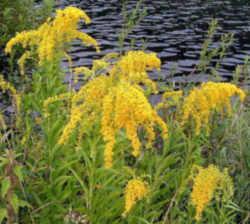 Kentucky State Flower - Goldenrod