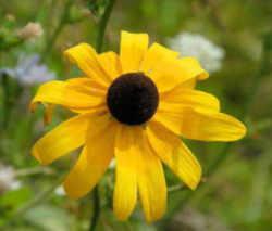 maryland state flower black eyed susan