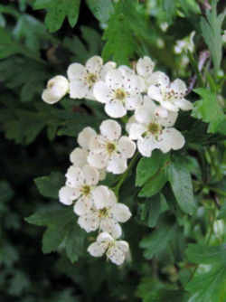 missouri state flower floral emblem hawthorn blossom