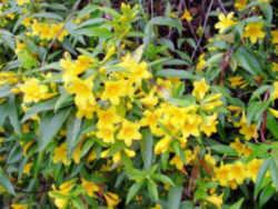 South Carolina State Flower Carolina Jessamine