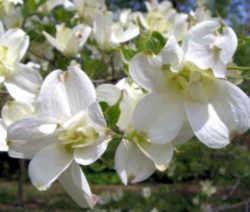 Virginia State Flower - American Dogwood