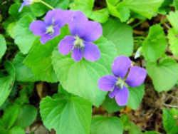 Wisconsin State Flower
