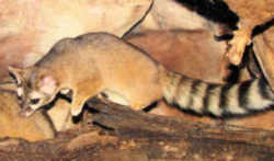 Ring tailed fox