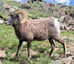 state symbols colorado state animal rocky mountain bighorn sheep