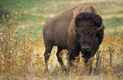 kansas state animal american buffalo