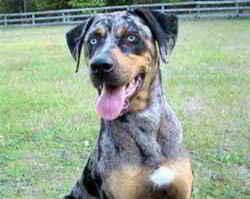 Louisiana Dog: Louisiana Catahoula Leopard Dog (Ursus