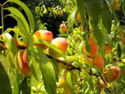 alabama state tree fruit peach rosacea genus prunus species p