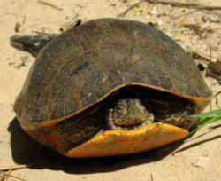 Alabama Red Bellied Turtle Red Bellied Turtle Alabama