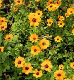Florida State Wild Flower Coreopsis