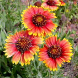 Oklahoma state wildflower indian blanket gaillardia pulchella indian blanket is a red flower with yellow tips it symbolizes oklahomas scenic beauty as well as the states indian heritage indian blanket flowers bloom mightylinksfo