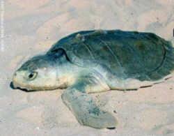 Kemps Ridley Sea Turtle Shell Texas State Sea Turtle...