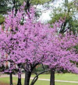 Oklahoma State Tree Eastern Redbud Fabaceae Cercis Canadensis