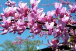 Oklahoma State Tree: Eastern Redbud (Fabaceae Cercis canadensis)