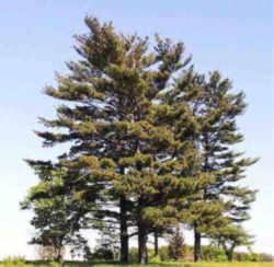 maine state tree eastern white pine pinus strobus