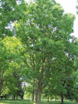 pecan texas state tree