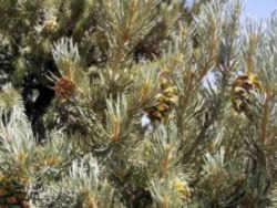 Nevada Revised Statutes >> Nevada State Tree: Singleleaf Pinyon
