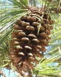 alabama state tree southern longleaf pine