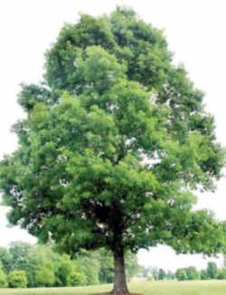 illinois state native tree white oak fagaceae quercus alba